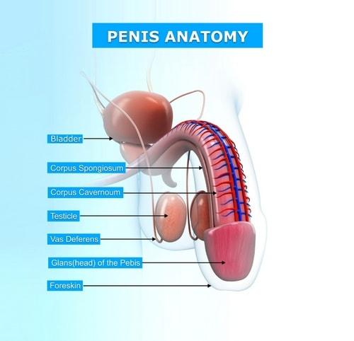 Анатомия пениса